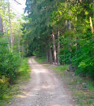 Color photo of a dirt road, lined with pine trees.